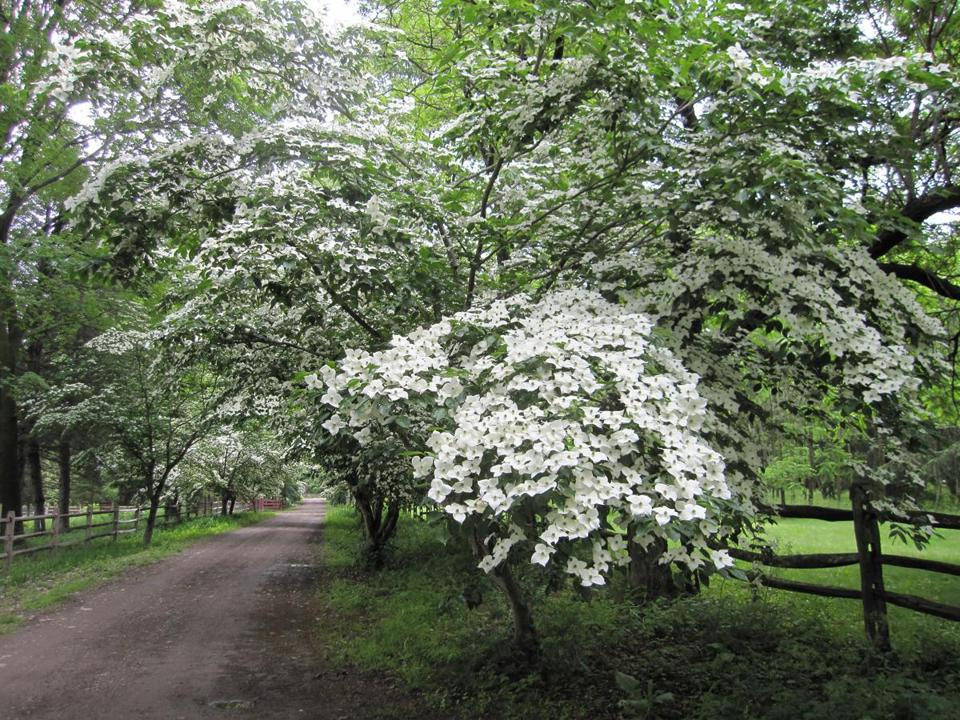 milton s wakefield estate shows off its flowering dogwood gardens