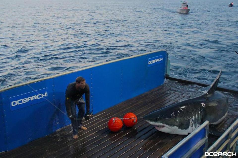 Meet the sharks of Cape Cod - The Boston Globe