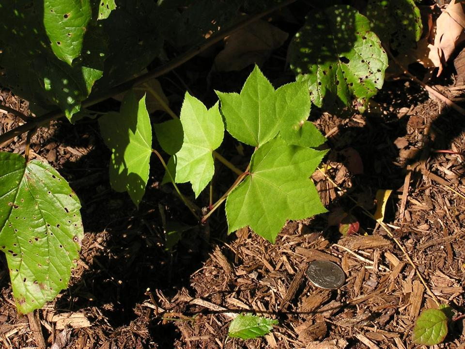 A castor aralia seedling appeared on the UNH campus.