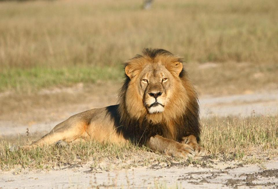 Cecil the lion was illegally shot with a crossbow in Zimbabwe by a US hunter named Walter Palmer.