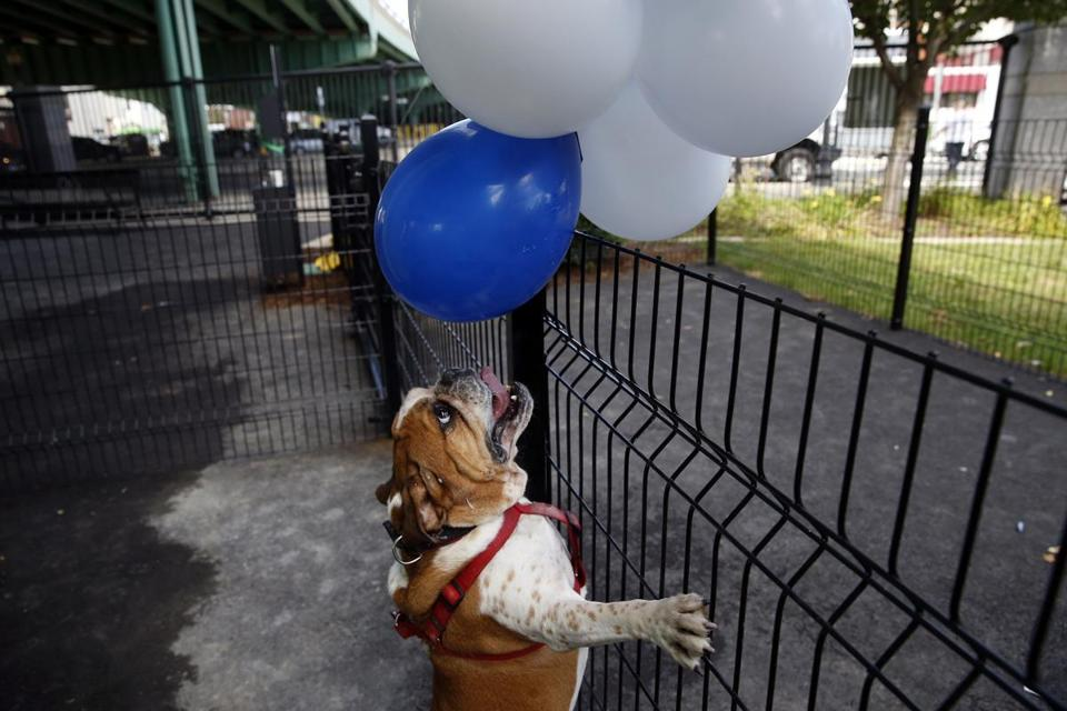 English bulldog Mack eyed the balloons at the Bremen Street Dog Park on Monday.