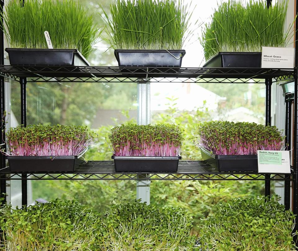 Trays of wheat grass, Hong Vit radishes, and sunflower sprouts in