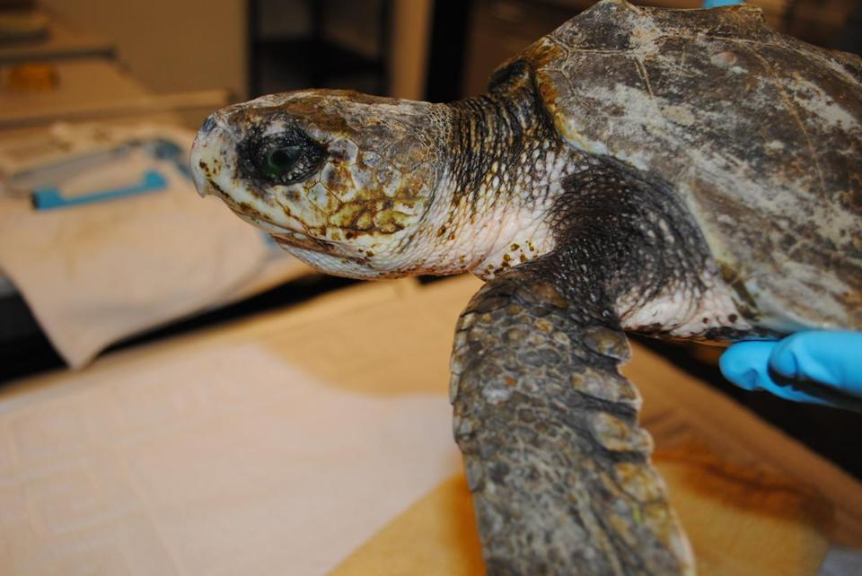 A Kemp's ridley sea turtle was rescued in shallow water in Barnstable on Monday.