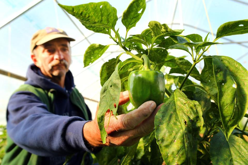 A green pepper is nearly ready for picking at Jeff Deck's Not Enough Acres Farm in Dennis.