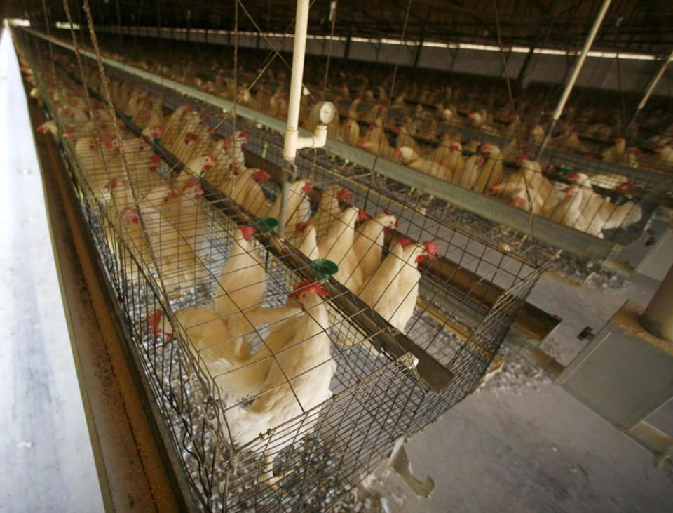 Hens at many egg farms live in tight quarters.