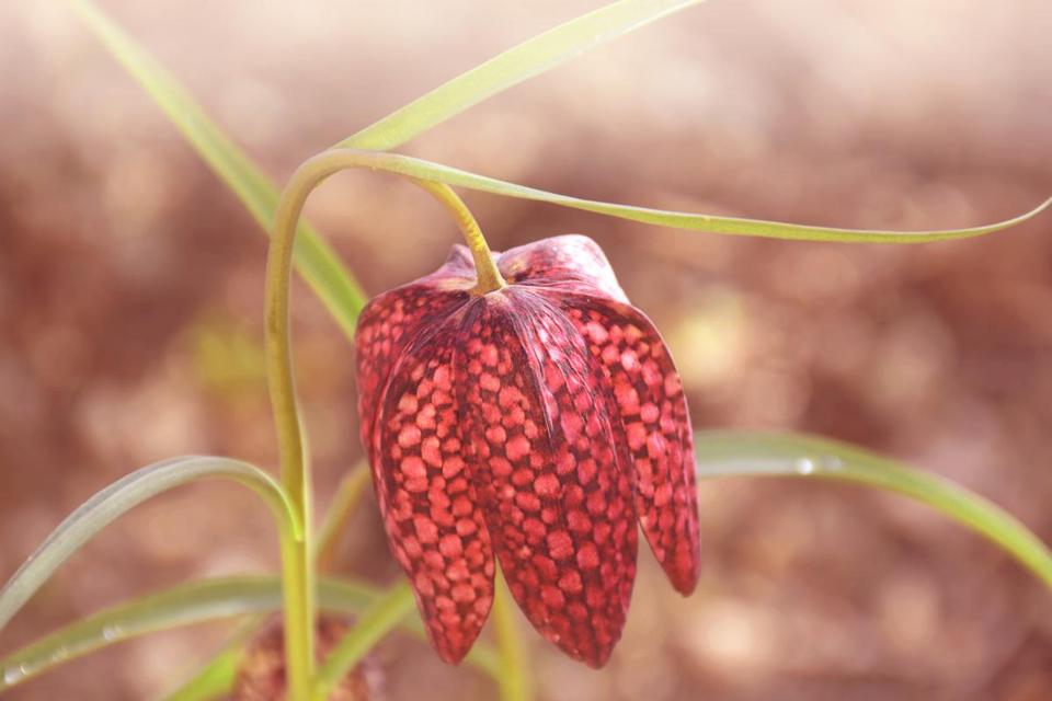 The Fritillaria Meleagris Is A Late Blooming Bulb That Repels Snackers