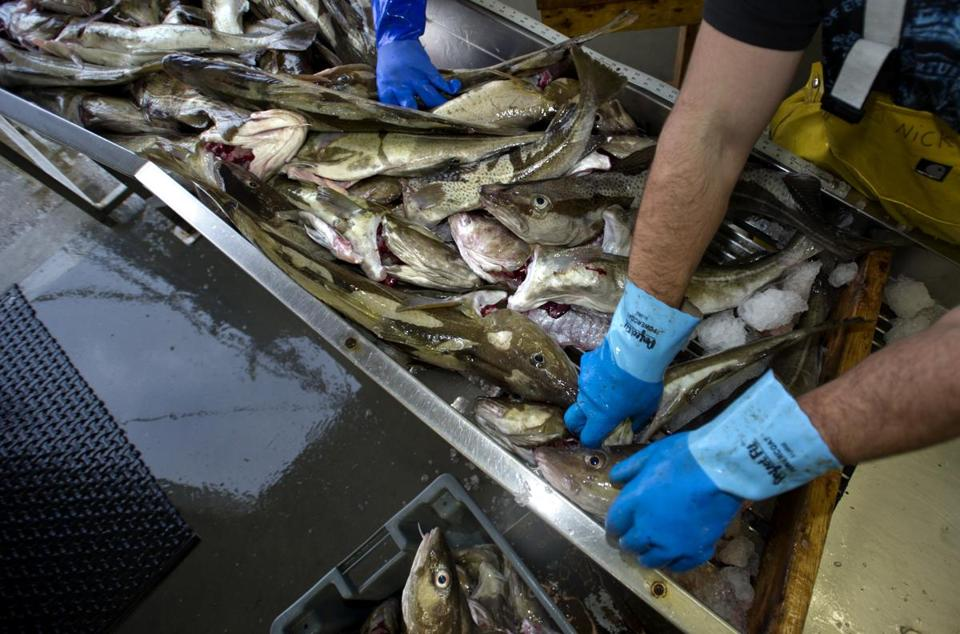 FILE — Fresh-caught Gulf of Maine cod are sorted at the docks in Gloucester, Mass., Dec. 6, 2011. Rapid warming in the Gulf of Maine contributed to the collapse of cod fishing in New England, and might help explain why the cod population has struggled even as fishing largely ceased, according to a study that appears in the journal Science on Oct. 30, 2015. (Gretchen Ertl/The New York Times)