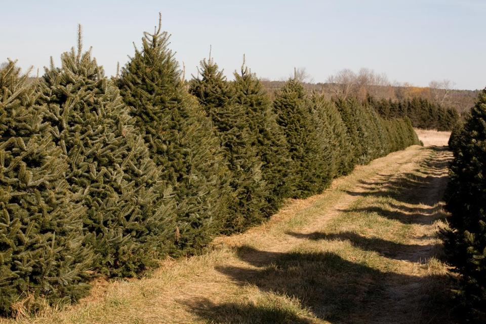 tip treat your tree like a gigantic cut flower when you get it home