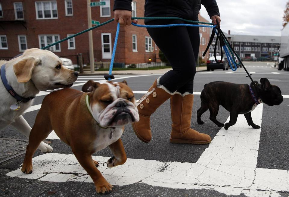 Dogwalker Kai Hsieh with (from left) Tucker, Bogey, and Beau in South Boston.