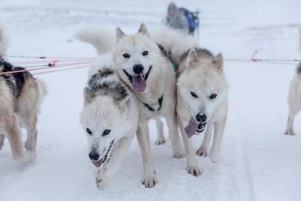 Here are pictures of sled dogs in northern Greenland.