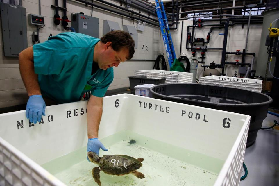 Adam Kennedy placed a Kemp's ridley rescued Monday into a temperature-controlled pool in Quincy.
