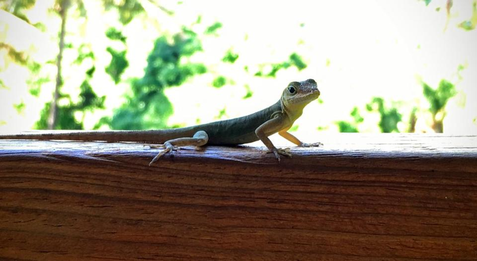 A lizard checked out the scene at a cafe in Jardin Botanique de Deshaies.