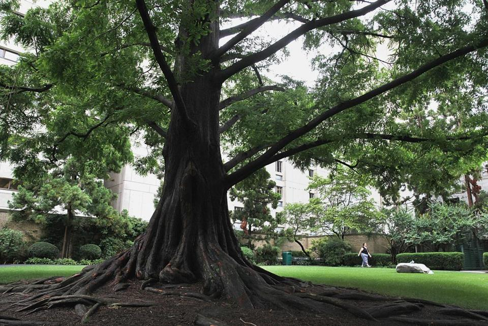 An old tree is one of the favorite features at the Prouty Garden in Boston Children's Hospital.