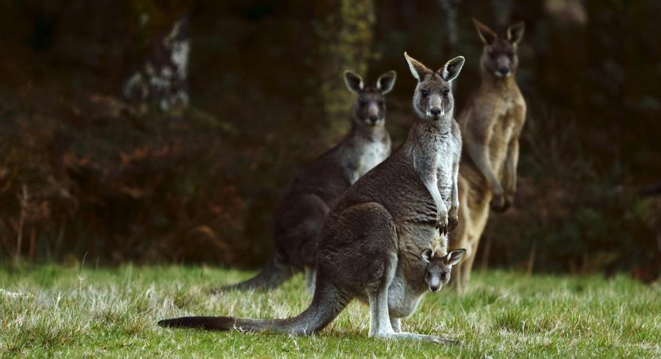 Kangaroos, including one carrying a joey in its pouch, stood by the side of a road outside Melbourne, Australia.