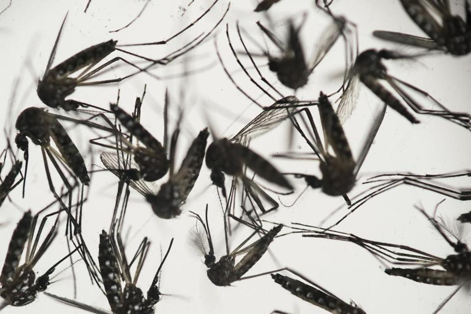 Aedes aegypti mosquitoes have caused worldwide panic.