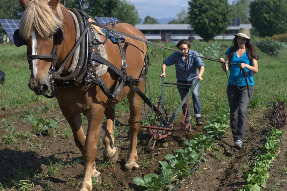 Sterling students harness draft horses for farming.
