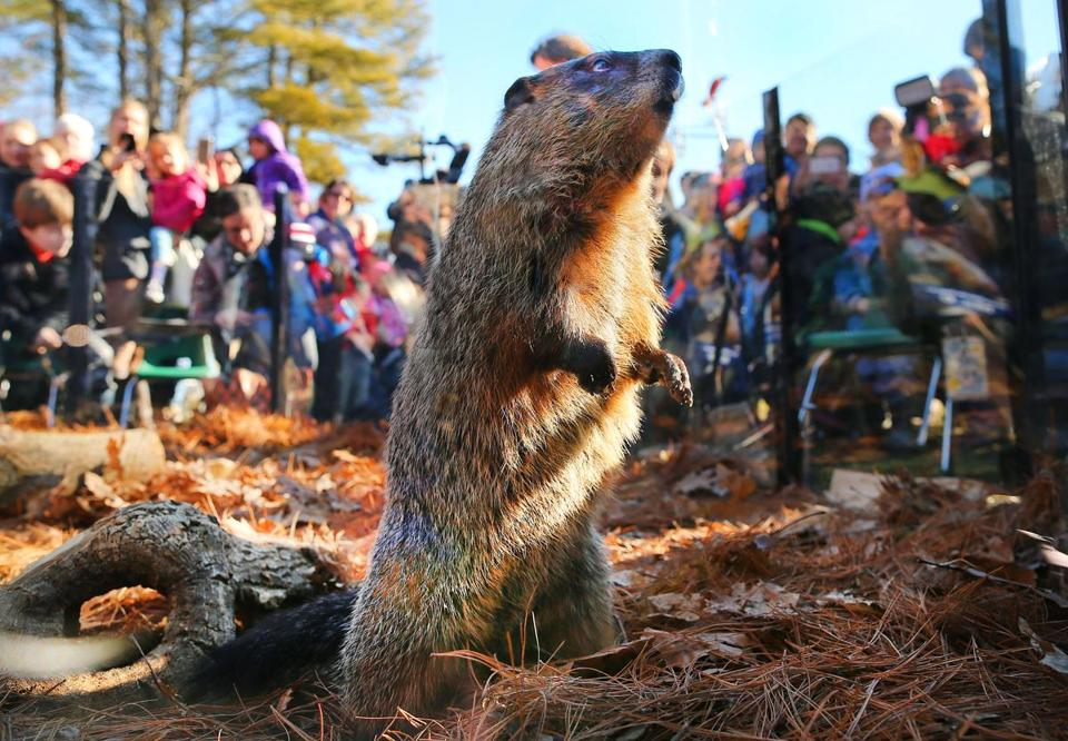 The sun was shining when Ms. G, the official state groundhog, came out Tuesday at the Mass Audubon Drumlin Farm Wildlife Sanctuary in Lincoln.