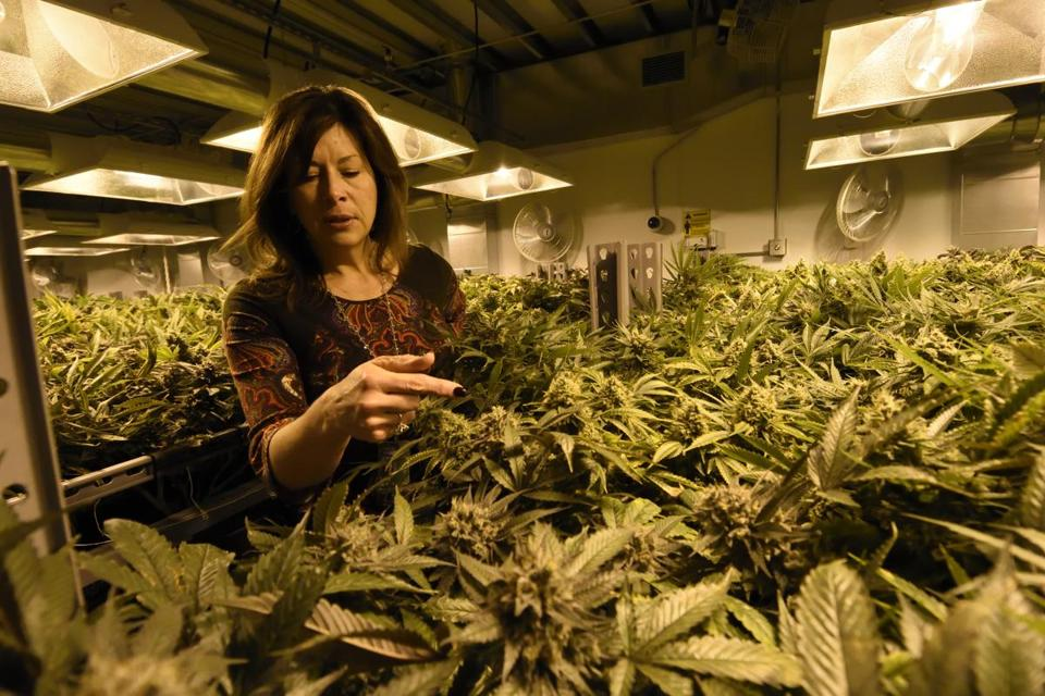 Sally Vander Veer, president of Medicine Man marijuana dispensary, paused inside a growing room at their facility in Denver last month.