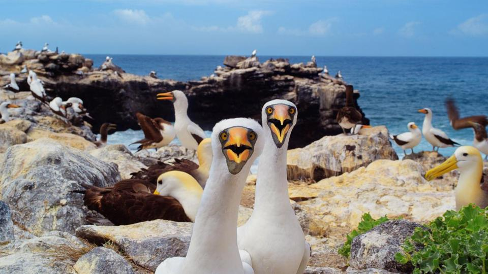 "Nazca boobies in ""Galapagos 3D: Nature's Wonderland."""