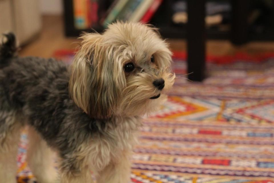 Latte, a 1-year-old Maltese Yorkie.