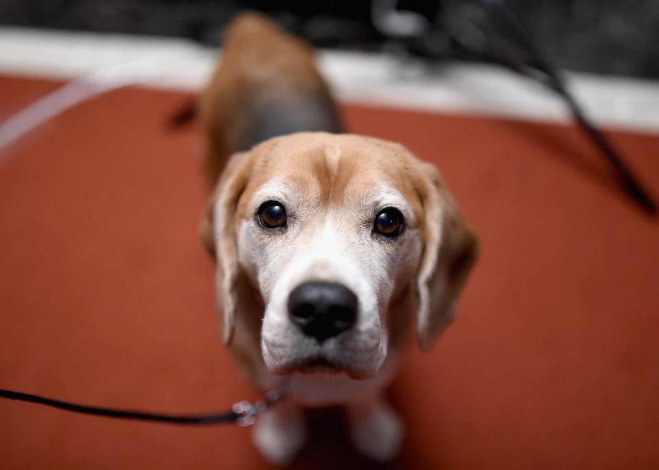 NEW YORK, NY - FEBRUARY 22: A Beagle attends the American Kennel Club Presents The Nation's Most Popular Breeds Of 2015 at AKC Headquarters on February 22, 2016 in New York City. (Photo by Jamie McCarthy/Getty Images)