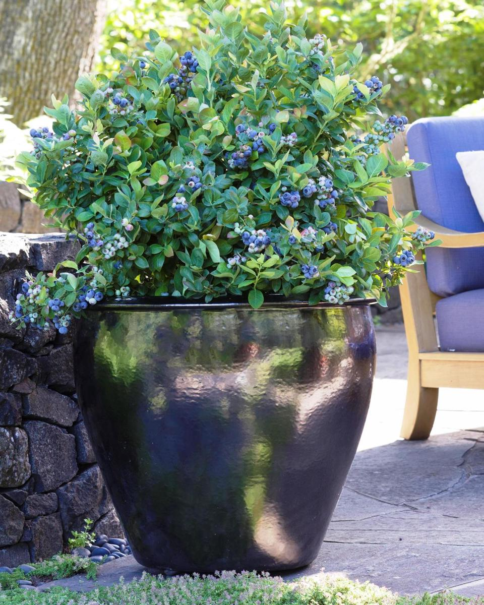 Van Doren suggests planting beautiful berry plants in containers on a patio or deck or in