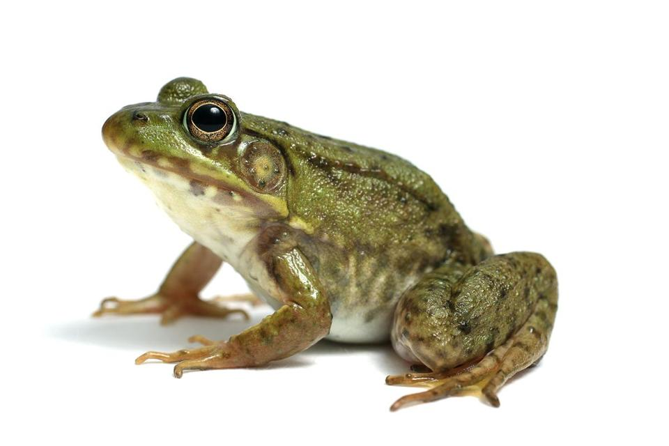 slow down and save a frog the boston globe