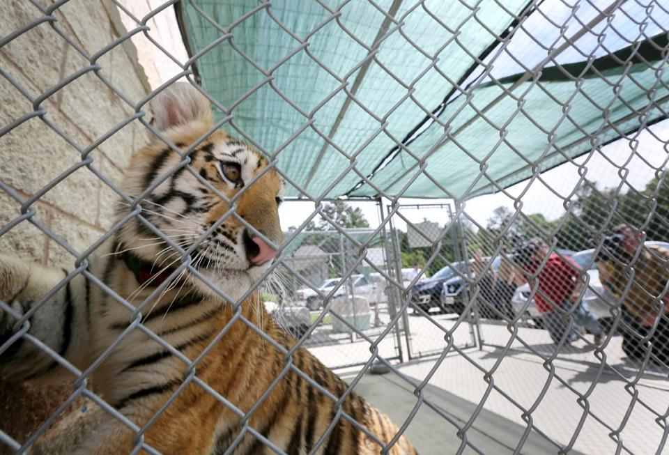 Tiger wearing collar with leash caught in South Texas city - The ...