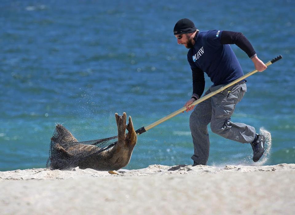 Superb Cape Cod Animal Rescue Part - 4: SOUTH MONOMOY , Cape Cod, MA - 4/29/2016: CT HARRY