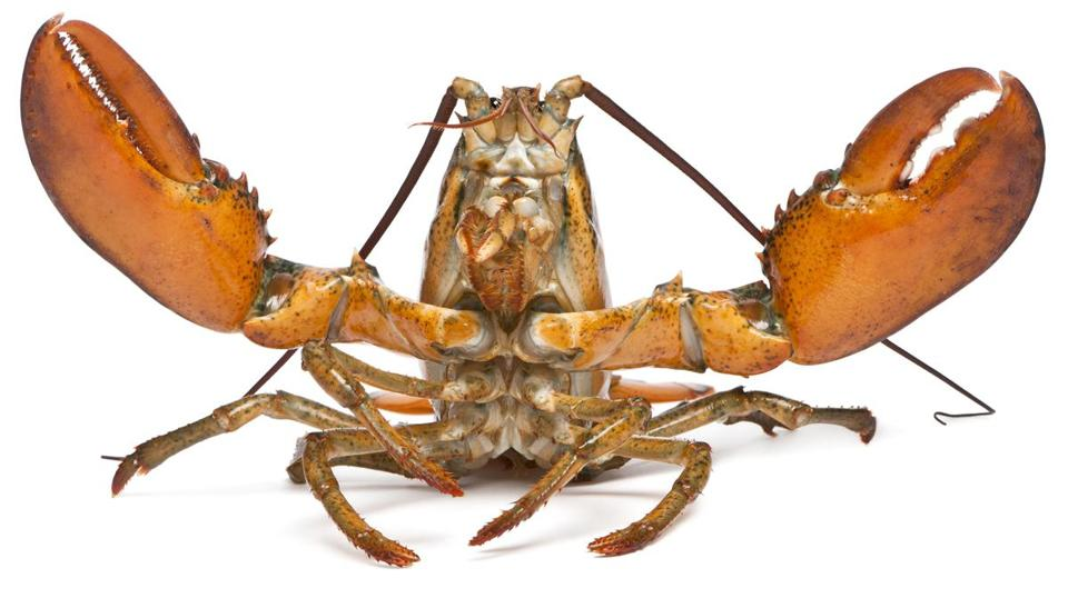 American lobster, Homarus americanus, in front of white background; Shutterstock ID 61022815; PO: 0512_editorial; Client: Op-ed
