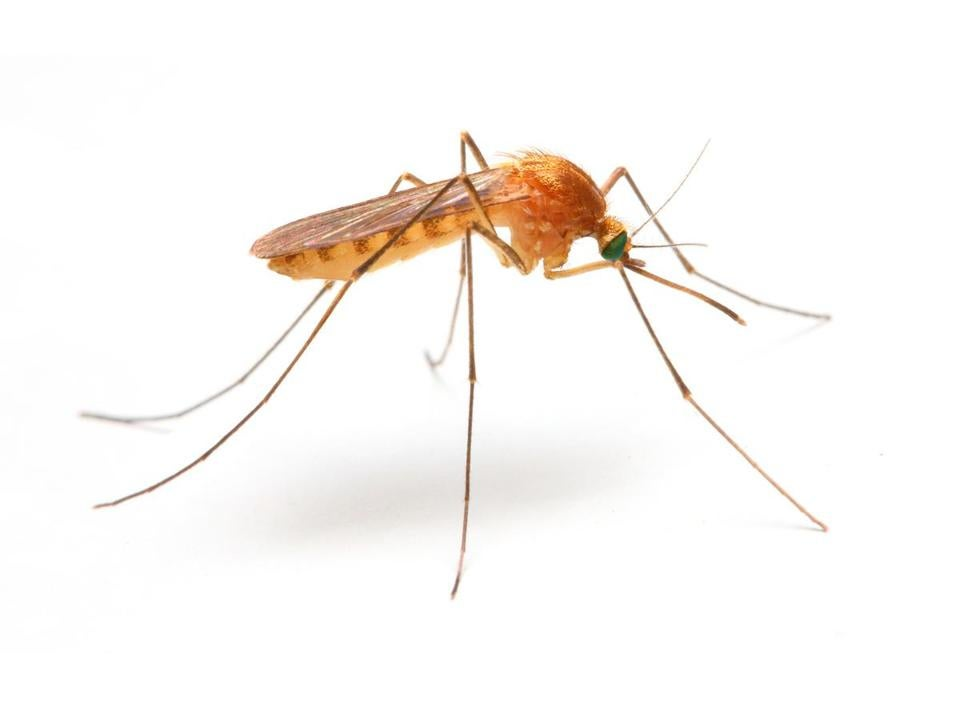 Anopheles mosquito, dangerous vehicle of infection. ; Shutterstock ID 225727018; PO: oped
