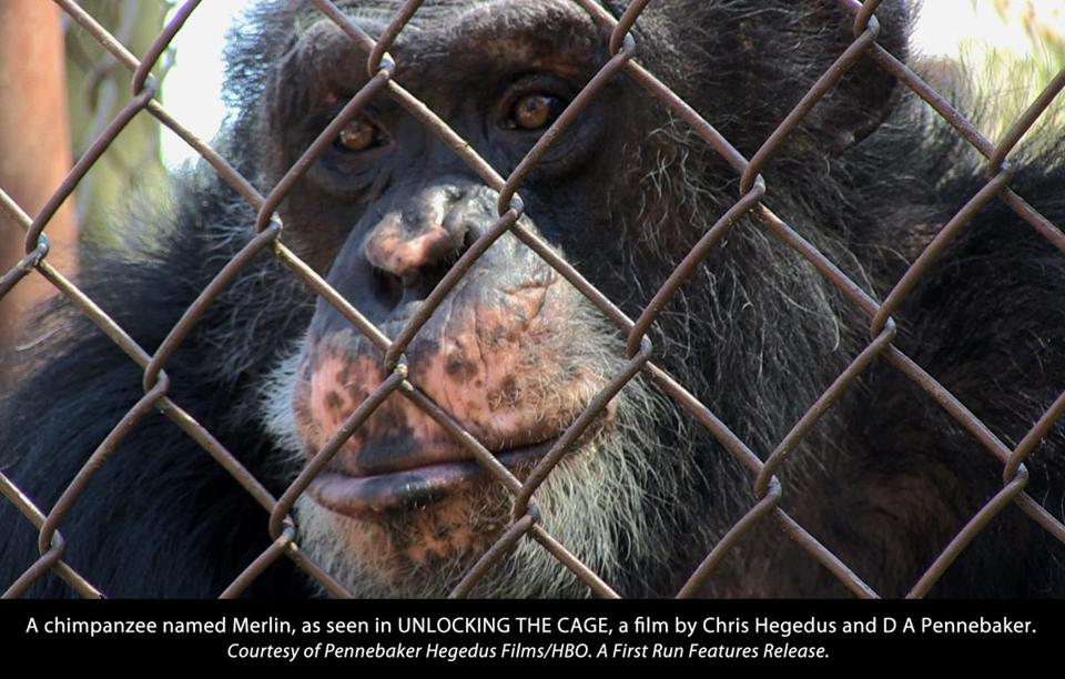 "A chimpanzee named Merlin, in a scene from ""Unlocking the Cage."""