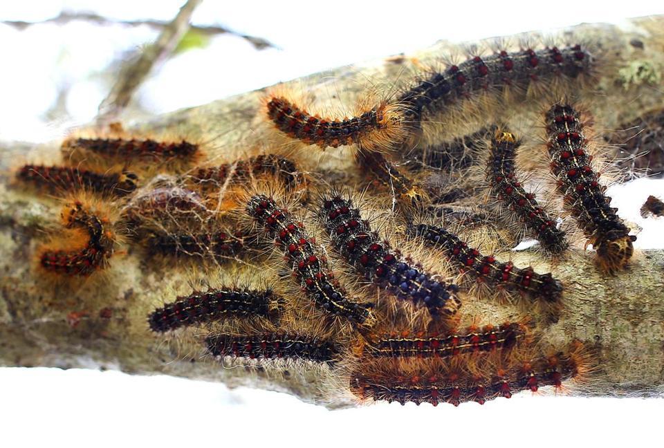 Tent Caterpillars Causing Power Oues