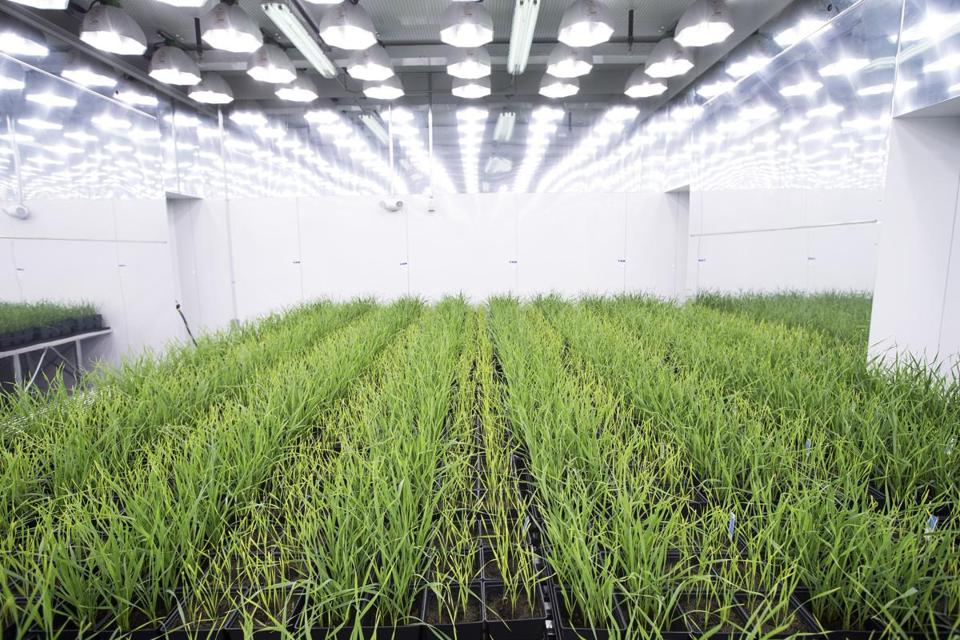 Boston, MA - 7/20/2016 - Wheat grows in one of the grow rooms at the offices of Indigo, a company that engineers crops, in Boston, MA, July 20, 2016. (Keith Bedford/Globe Staff)