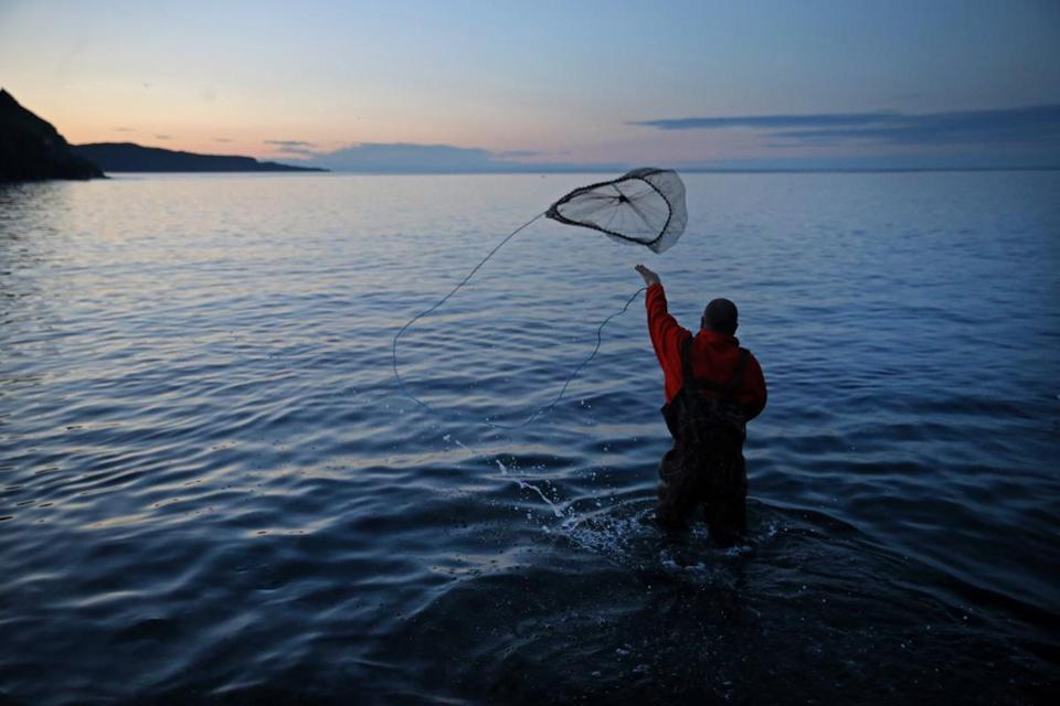 07/20/2016 -Petty Harbour, Newfoundland - Craig Purchase (cq) , Associate Professor of Biology at Memorial University of Newfoundland uses a net to gather Capelin for his research at Middle Cove Beach in Newfoundland, Canada, July 20, 2016. The silver fish spawning on the shore is the primary food source for cod. (Craig F. Walker/Globe Staff) section: Metro reporter: Abel