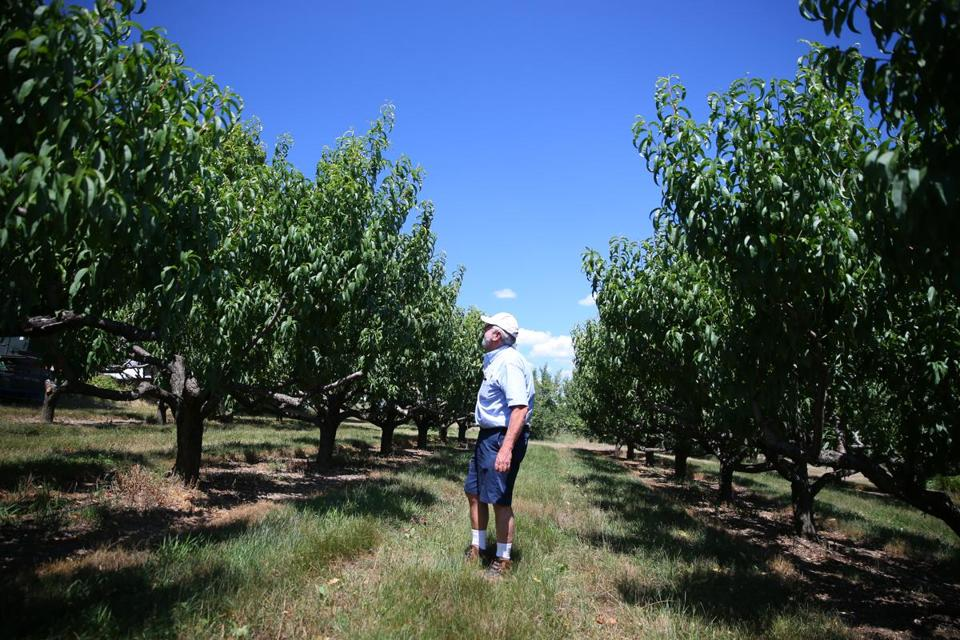 Frank W. Carlson at one of his peach orchards on his 25-acre farm in Harvard. Not one peach has survied this growing season.