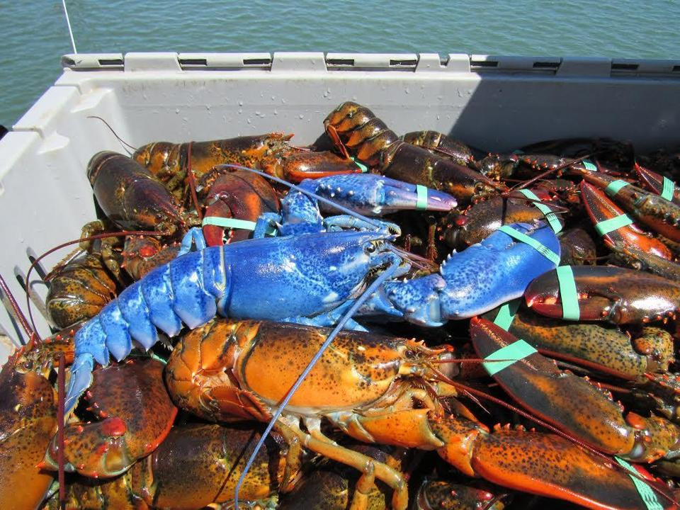 Nickerson pulled up this blue lobster while fishing off Plymouth.