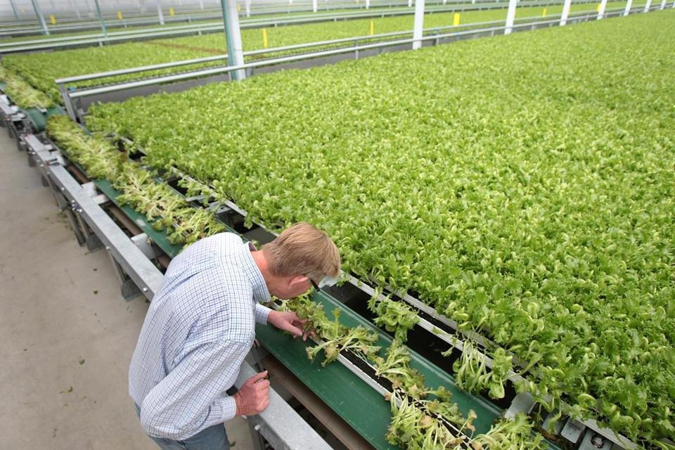 Paul Sellew, founder and CEO of Little Leaf Farms, checked lettuce at the Devens facility.