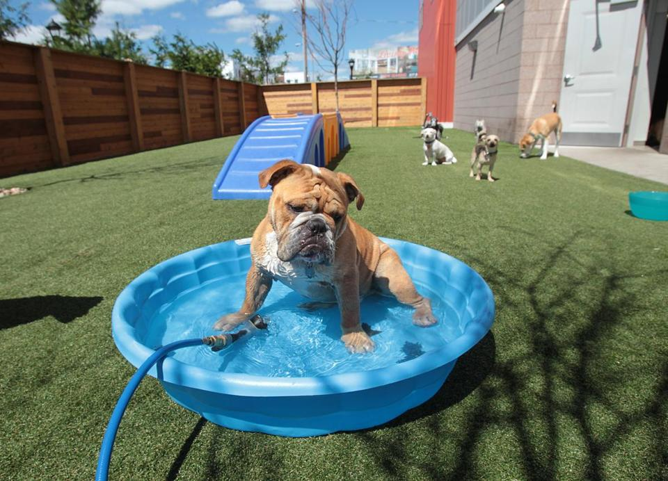An English bulldog (top) cooled off in a pool at the day-care center at One North of Boston.