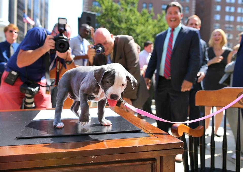 Gumdrop, a 9-week-old pit bull, took center stage Wednesday near the State House after Governor Charlie Baker signed the bill into law. Gumdrop is up for adoption through the Massachusetts Society for the Prevention of Cruelty to Animals.