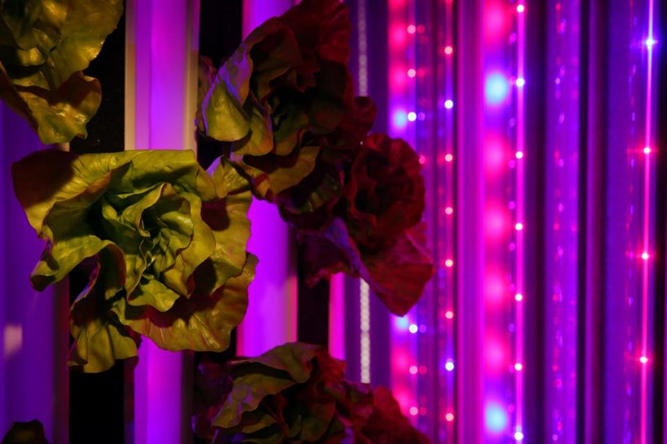 09/15/2016 -Boston, MA- Freight Farms displayed a prototype of their new LGC in Boston, MA September 15, 2016. Here, fake lettuce is used to represent crops planted in 6 foot towers lit by LED grow lights. The new product uses the Farmhand App to control climate, lights and water. (Craig F. Walker/Globe Staff) section: Business reporter: (they did not want any photographs that showed to main console inside the freight)