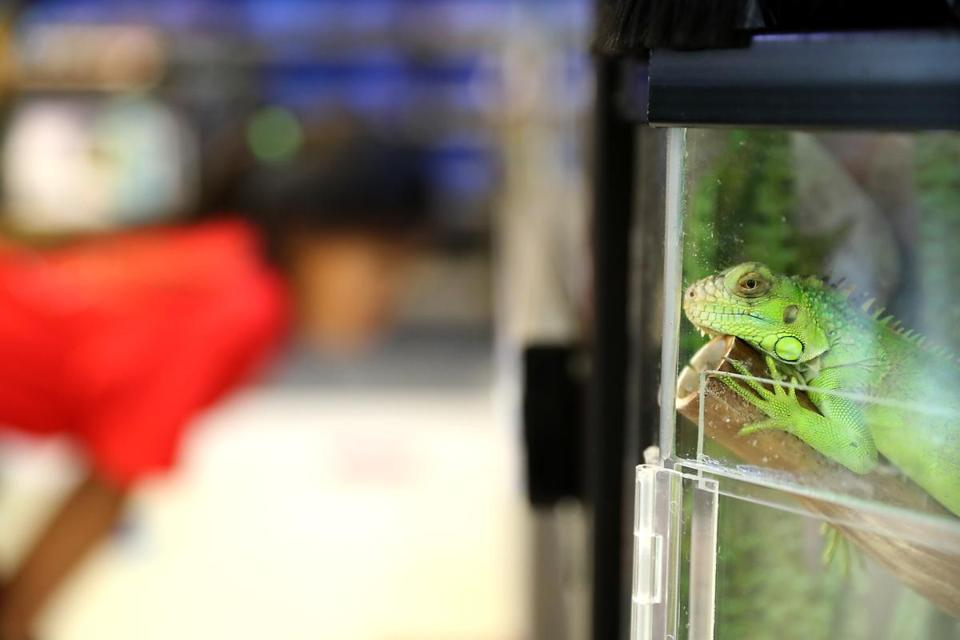 A green iguana stood guard as a customer looked at other reptiles at Petco in Needham.