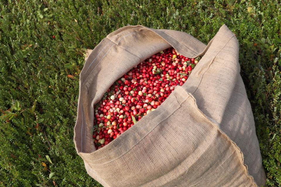 ROCHESTER MA - 10/05/2016: DROUGHT.... cranberries in bags for a dry harvest because of a drought used by Fred Allen at his wife's bog, Dawn Gates-Allen, a fourth-generation independent grower. (David L Ryan/Globe Staff Photo) SECTION: METRO TOPIC 05cranberry