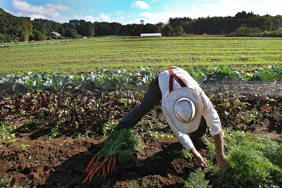 The Cambridge nonprofit Food for Free grows produce at Lindentree Farm in Lincoln.