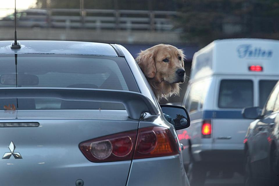 Newton, MA., 10/31/16, A Golden Retriever seems at peace with the usual morning rush hour whiched seemed no worse than usual on the Massachusetts Turnpike heading towards Boston. Traffic was mostly easy during rush hour on the Massachusetts Turnpike at the Allston Brighton tolls where demolition of the toll booth is taking place. Suzanne Kreiter/Globe staff