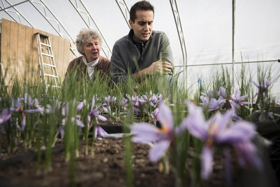 27saffron - St. Albans, Vermont- Thursday, November 10, 2016. Margaret Skinner and Arash Ghalehgolabbehbahani of UVM are leading an experiment to see the viability of growing saffron at their plot in St. Albans on Thursday. (Ian Thomas for The Boston Globe)