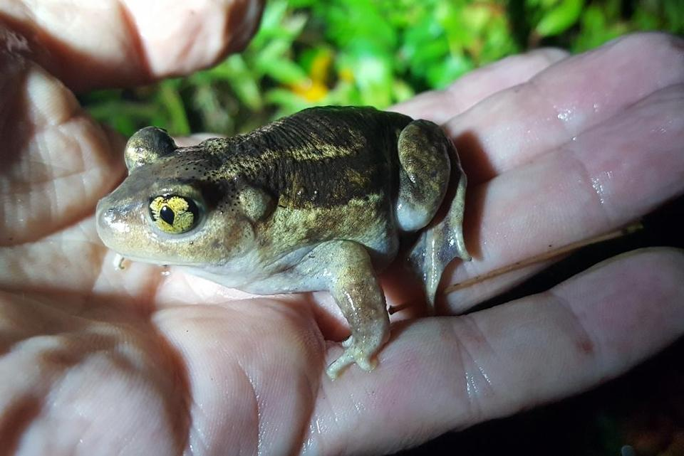 An eastern spadefoot in Tim Beaulieu's hand. Biologists think the hind feet helps them dig into soil.