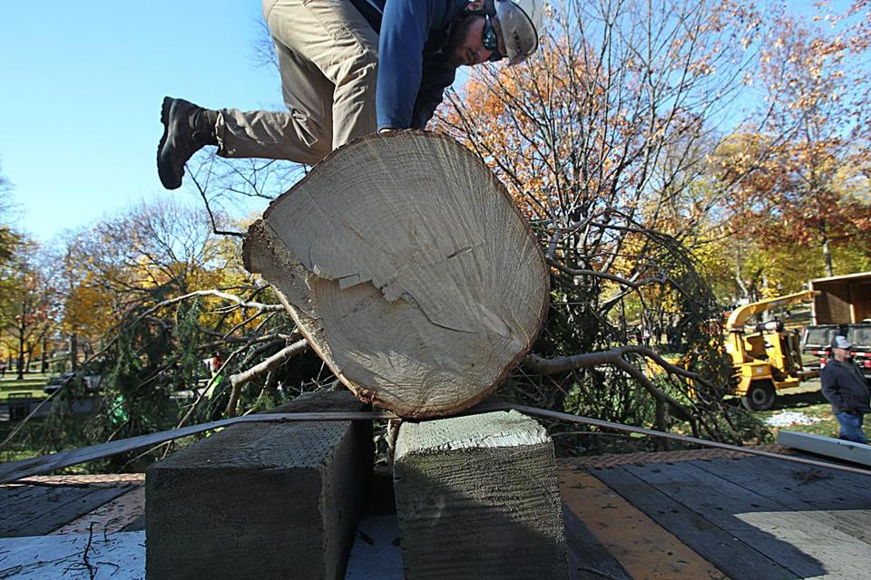 Boston arborist Max Ford-Diamond worked to unpack the tree after it arrived on Boston Common on Nov. 18.