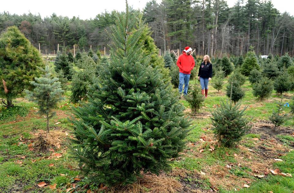 It's a budding business down on the tree farm - It's A Budding Business Down On The Tree Farm - The Boston Globe