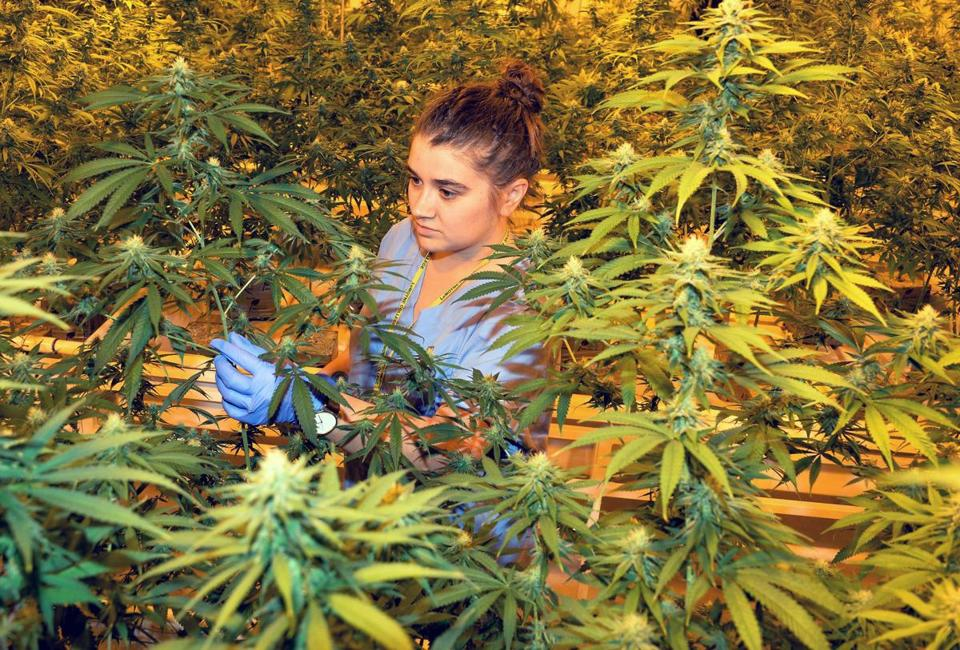 Barring any unforeseen snafu, possessing, using, and home-growing marijuana will be legal on Thursday.
